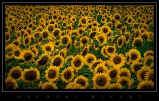 Sunflowers-a